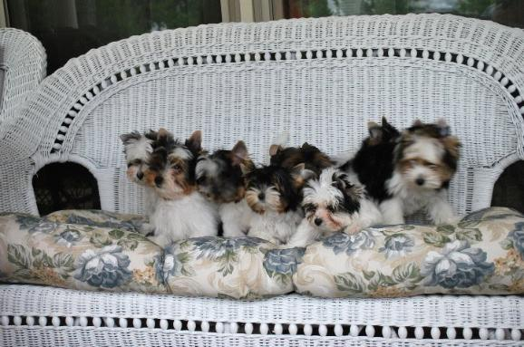 Cloverdale Yorkies and Almost Heaven Biewers    Well bred