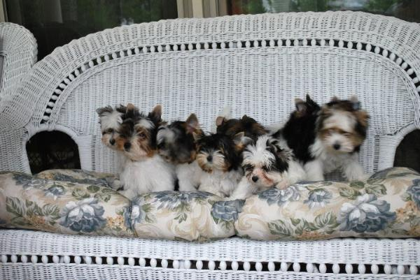 Cloverdale Yorkies And Almost Heaven Biewers Well Bred And